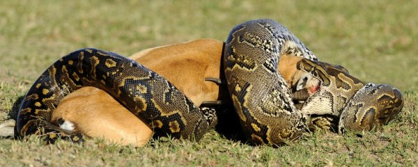 Python Gobbling R