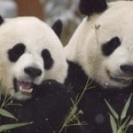 Mei Xiang (L) and Tian Tian (R)